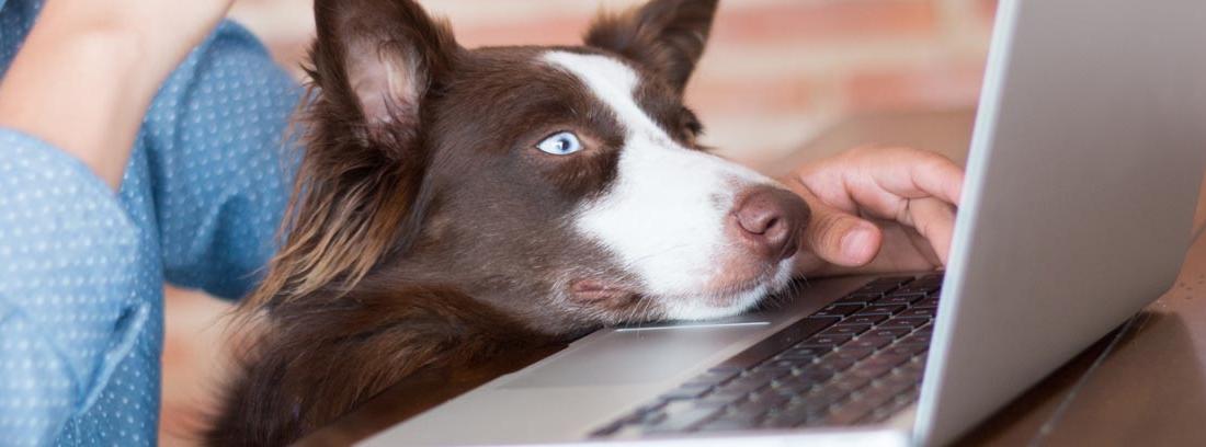 perro apoyado en el ordenador de su dueña mientras trabaja